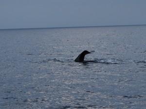 la coda di un capodoglio in immersione ieri