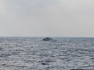 La balenottera salta e ripiomba in mare
