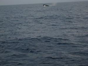 La folle corsa e i salti della balenottera